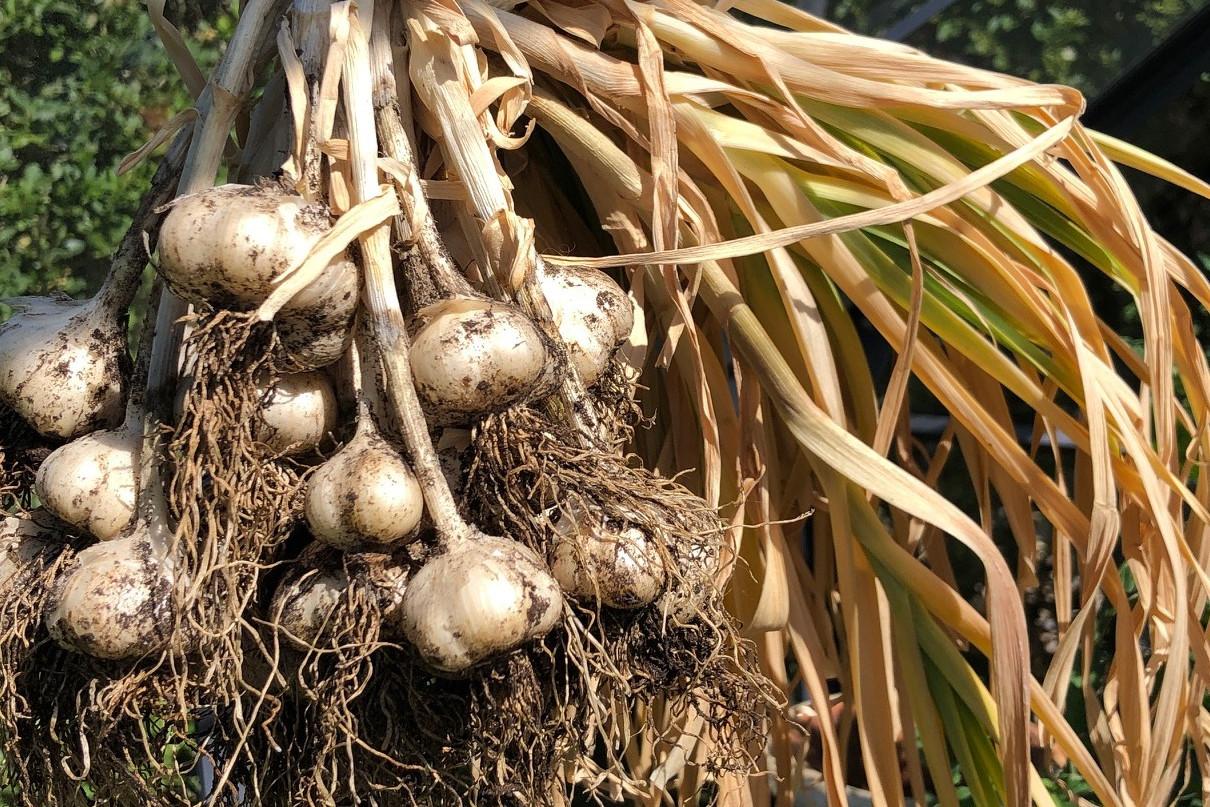 Knoflookbollen oogsten smaakvol in gerechten