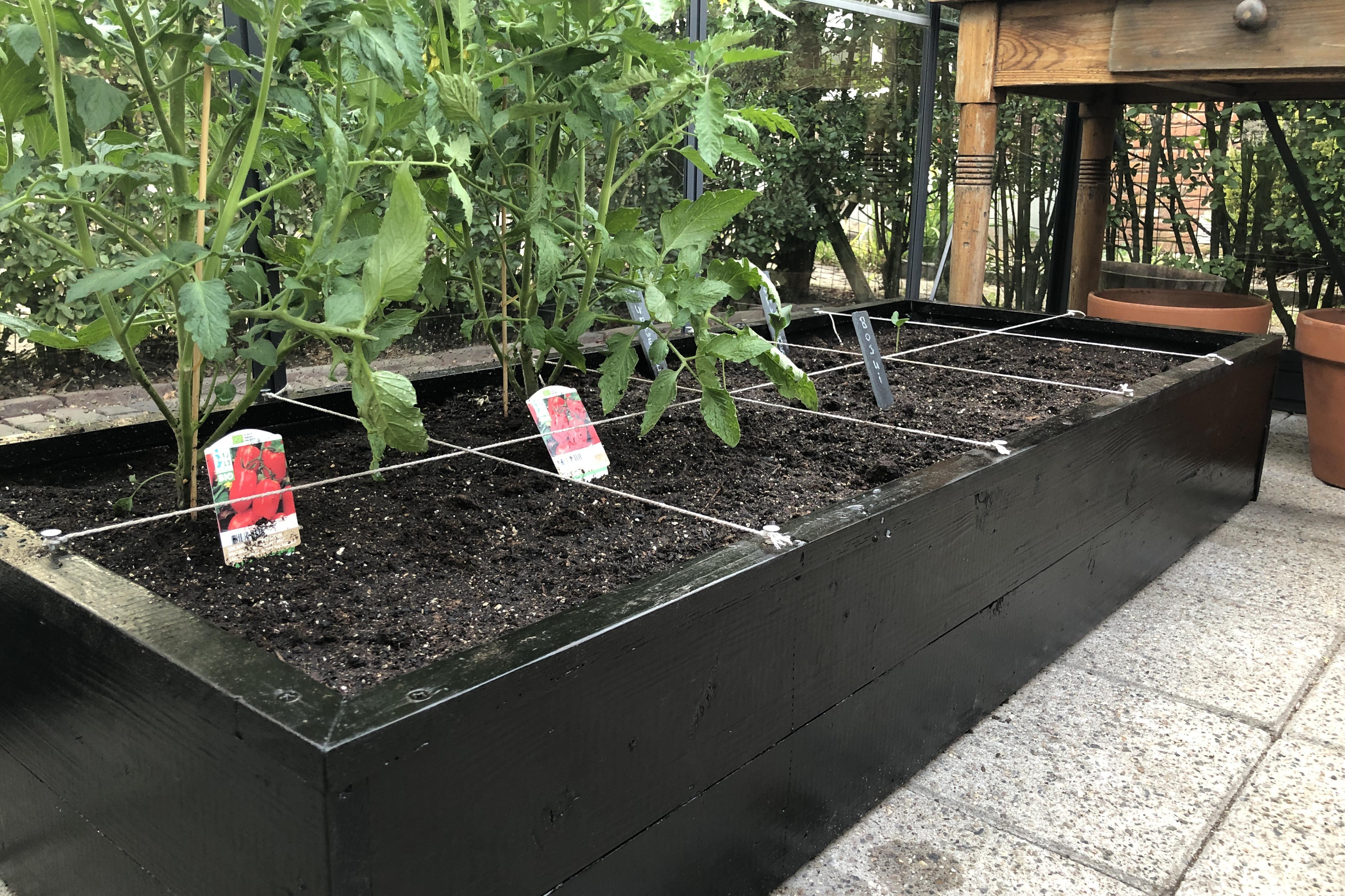 tomatenplanten