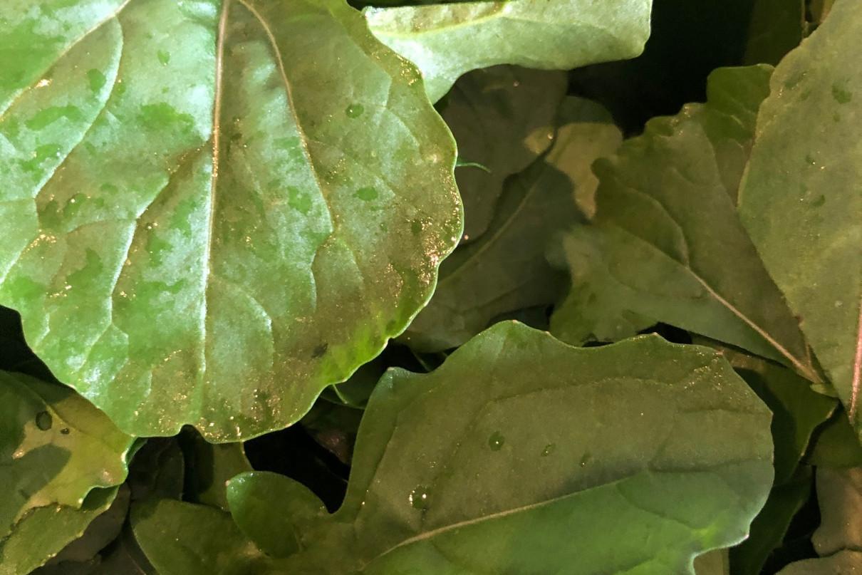 Rucola kweken blad knapperig eetbaar