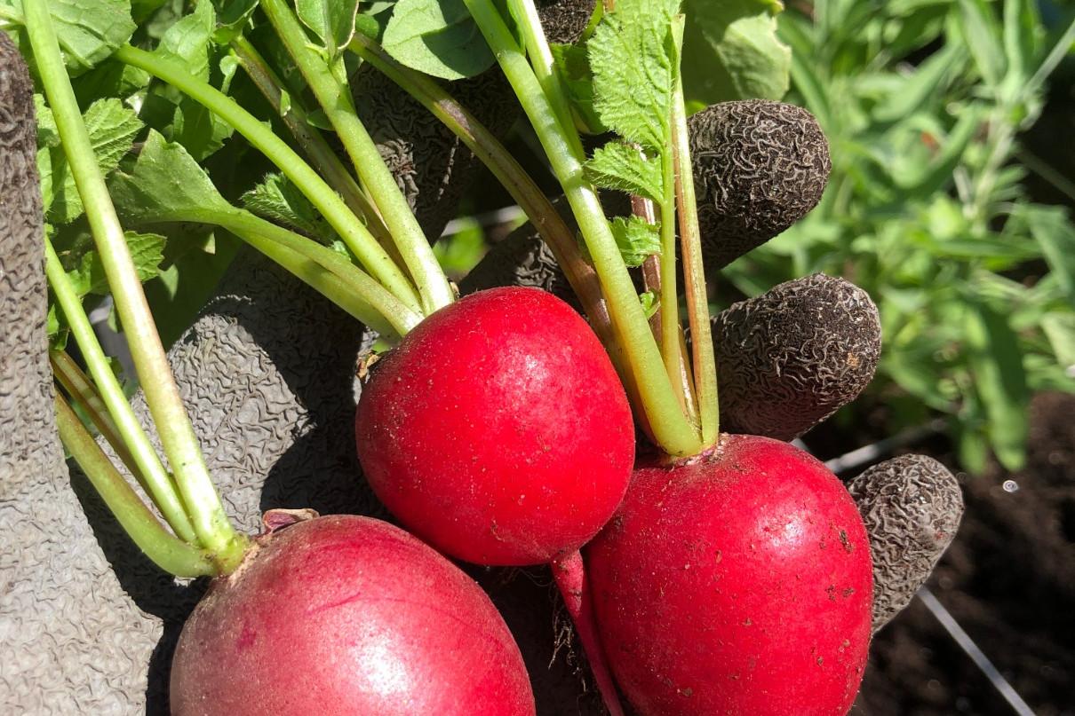 Radijs oogsten en kweken in moestuinbak
